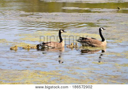 A family of geese in the water
