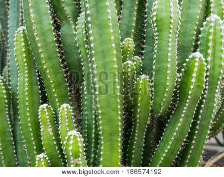 Groups of green cactus budding nature background.