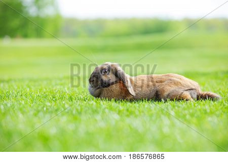 Flap-eared pet rabbit on green grass in park