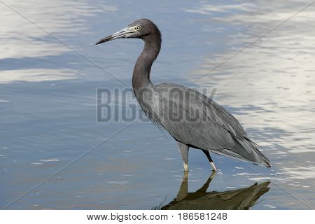 A Little Blue Heron, Egretta caerulea standing in shallow water   in a pond in Floruida