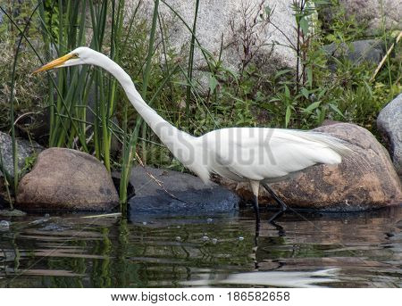 A streamlined egret walks through the water in a park in Edina Minnesota.