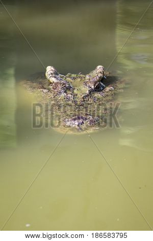 Image of a crocodile head in the water. Reptile Animals.