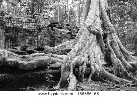 Landscape photo of tree roots growing over ruins of a temple in Siem Reap, Cambodia
