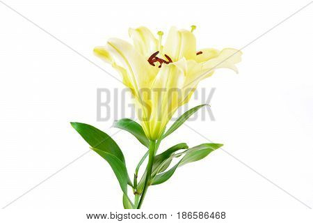 Beautiful soft yellow lily flowers isolated on white background