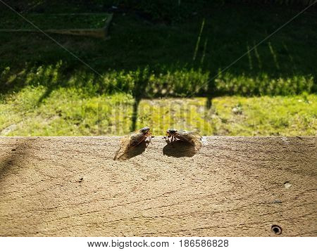 two cicadas facing each other on composite deck railing