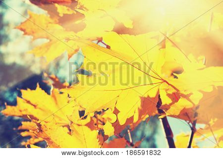 Yellow Leaves In Autumn Forest At Sunny Day.