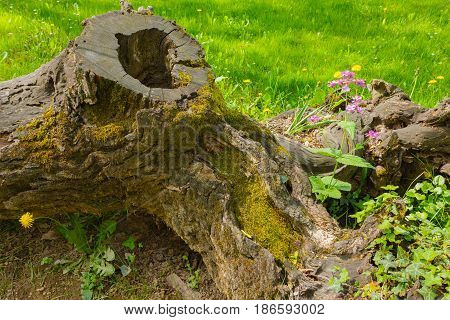 a tree trunk protects with its roots two isolated florets