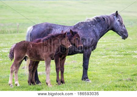 Pale Mare and two foal on the spring meadow