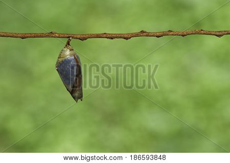 Mature Chrysalis Of The Common Archduke Buttterfly  ( Lexias Pardalis Jadeitina ) Hanging On Twig