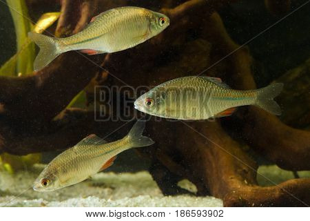 Three Amur Bitterling Rhodeus sericeus fresh water fish in tank