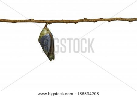 Isolated Mature Chrysalis Of Common Archduke Buttterfly ( Lexias Pardalis Jadeitina )