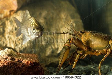 Eastern crayfish Orconectes limosus and Prussian carp Carassius gibelio fish in the pond