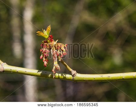 Male flowers on branch ash-leaved maple Acer negundo macro with bokeh background selective focus shallow DOF.