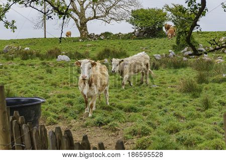 Cows near the famous Poulnabrone Dolmen Ireland