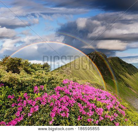 Summer landscape with a rainbow in the mountains. Bushes blooming rhododendron. Beautiful glade of pink flowers