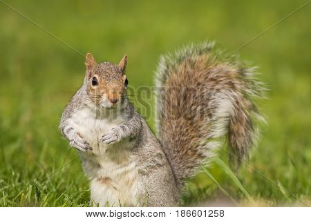 Eastern Gray Squirrel (Sciurus carolinensis) in funny pose on a bright day with room for copy on side