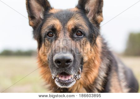 German Shepherd Dog In Sunny Day
