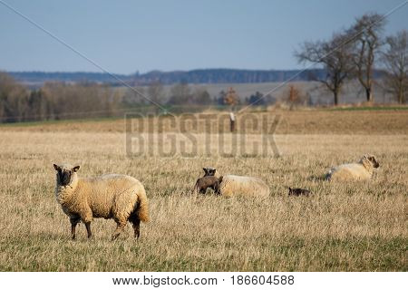 Sheep with lambs on pasture spring time