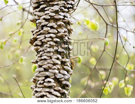 Bracket fungus growing on bark of a birch tree