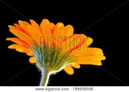 Bright orange gerbera flower on black background