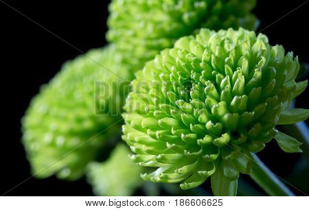 Close up green chrysanthemums on black background