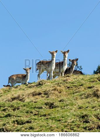 Fallow deer looking over the top of a hill
