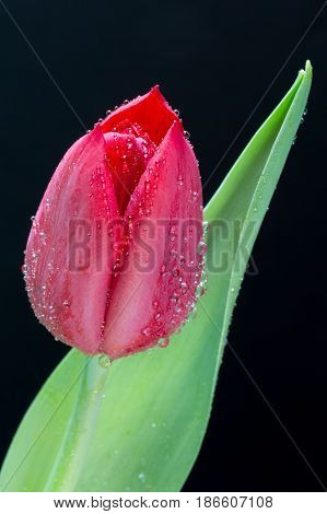 Red tulip with water droplets on black