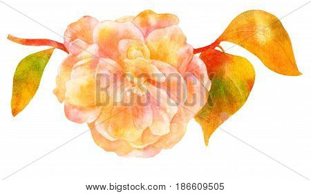 Vintage style watercolor drawing of camellia flower in bloom, on a branch with leaves, isolated on white background, a decorative element for a greeting card or wedding invitation, golden toned