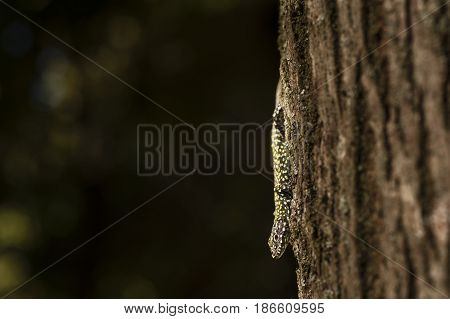 Mediterranean Wall lizard Podarcis sicula on tree trunk under the sun.