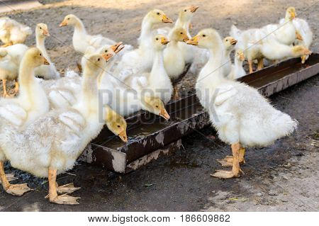 A flock of young white geese drink water on the background of nature.