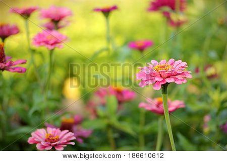 Zinnia pink flowers in the garden outdoor