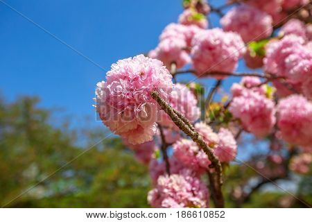 Closeup of cherry blossom in japanese park, Tokyo, Japan. Beautiful pink Sakura flower on blue sky background. Hanami concept, spring, relaxation. The cherry blossom is the national flower of Japan.