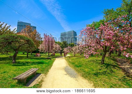 Landscape of Japanese sakura garden in Hamarikyu Gardens, Tokyo, Chuo district, Japan. Shiodome buildings and people on benches background. Spring concept, Hanami and outdoor life. Sunny day, blue sky.