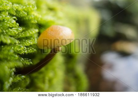 Small orange mushroom growing out of green moss