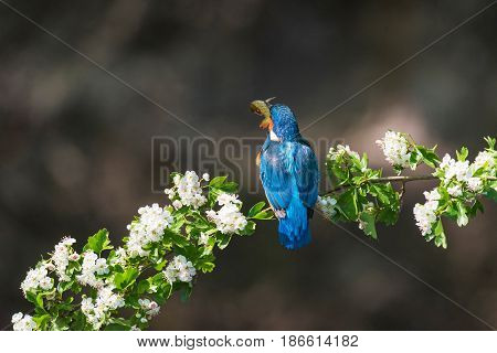 Rear View Of Kingfisher Holding Fish In Beak Perched On Blooming Branch.