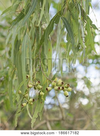 Iconic Australian eucalyptus tree koala food with green gum leaves and gumnuts for an Australiana background