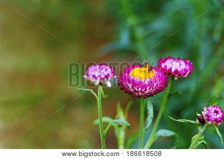 Helichrysum or Straw flower in outdoor garden at countryside Thailand