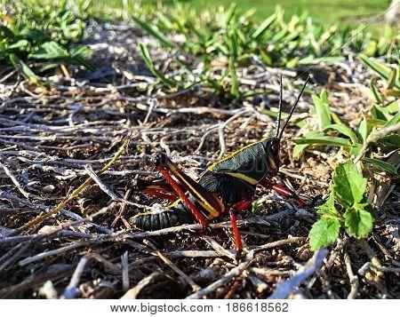 black giant Lubber grasshopper - Nymph Romalea microptera