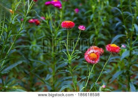 Helichrysum or Straw flower beautiful blur green background at coutryside Thailand