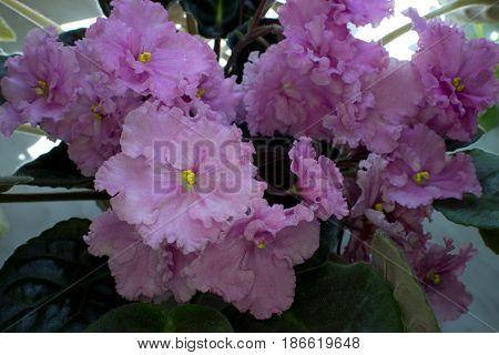 African violets - Saintpaulias in a pot.