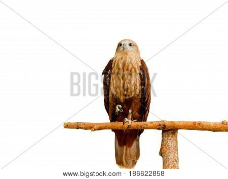 Close up portrait of a red tailed hawk isolate on white background.