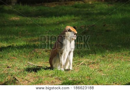patas monkey (Erythrocebus patas) sitting in the grass