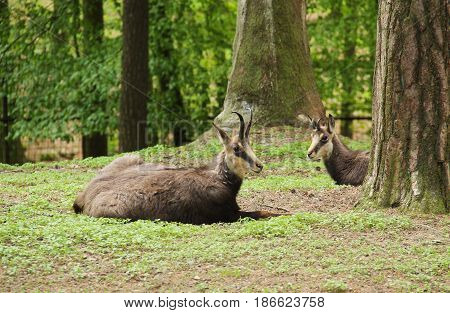 two chamoises (Rupicapra rupicapra) having rest in the wood