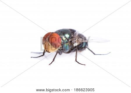 Blue bottle fly isolated on white background.