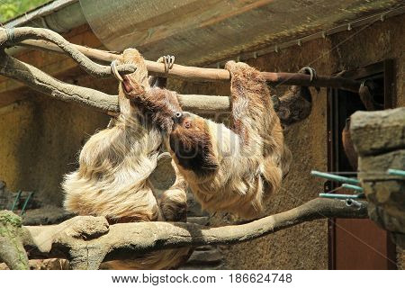 two Linnaeus´s two-toed sloths (Choloepus didactylus) climbing on the branches in their enclosure in ZOO