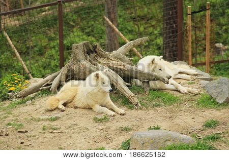 two beautiful white arctic wolves (Canis lupus arctos) having rest near the big stump in the ZOO