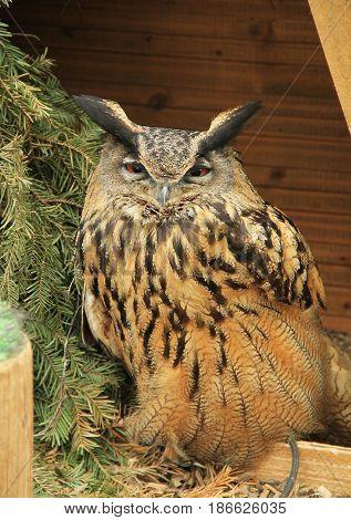 Eurasian eagle-owl (Bubo bubo) in the ZOO