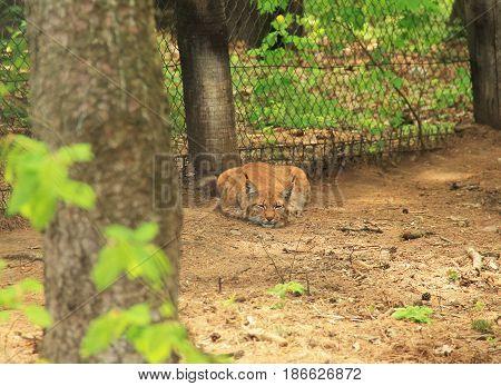 fluffy Eurasian lynx sleeping in the forest in ZOO