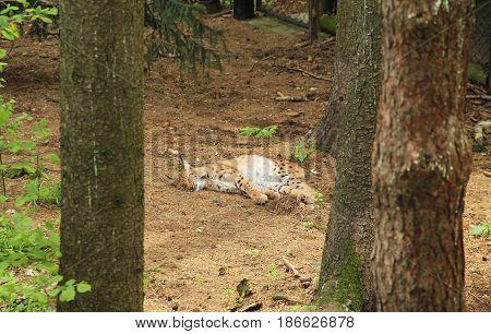 fluffy Eurasian lynx sleeping in the forest
