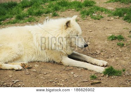 beautiful white arctic wolf (Canis lupus arctos) having rest